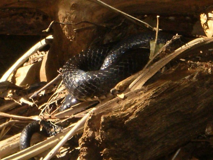 Mystic Shaman Snake At Goddess Tree